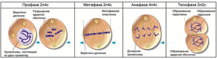 Митоз: определение, фазы митоза